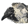 Hooded crow, Original art