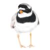 Little ringed plover, box of birds