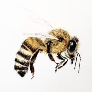 Honey Bee 1