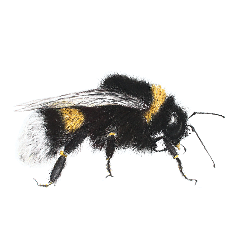 Pastel drawing of a bumblebee