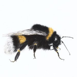 Bumblebee 2 – the bee drawing series