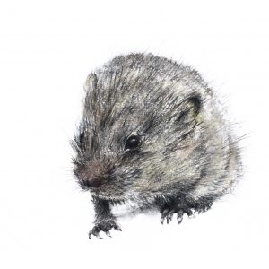 The very small, very shy Dormouse – small drawing series