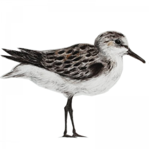 Sanderling – the shy little shoreline bird.