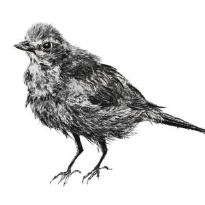 Blackbird Jill Meager