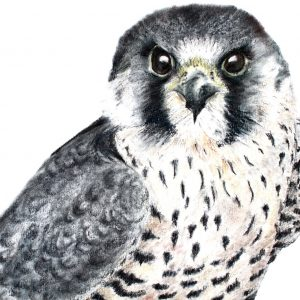 Peregrine Falcon – SOLD